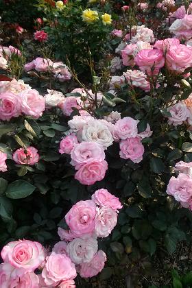 いろいろな種類のバラ