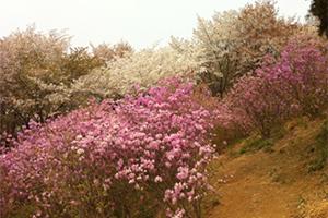 桜とつつじの綺麗な景色