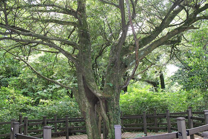 カヤの木の森